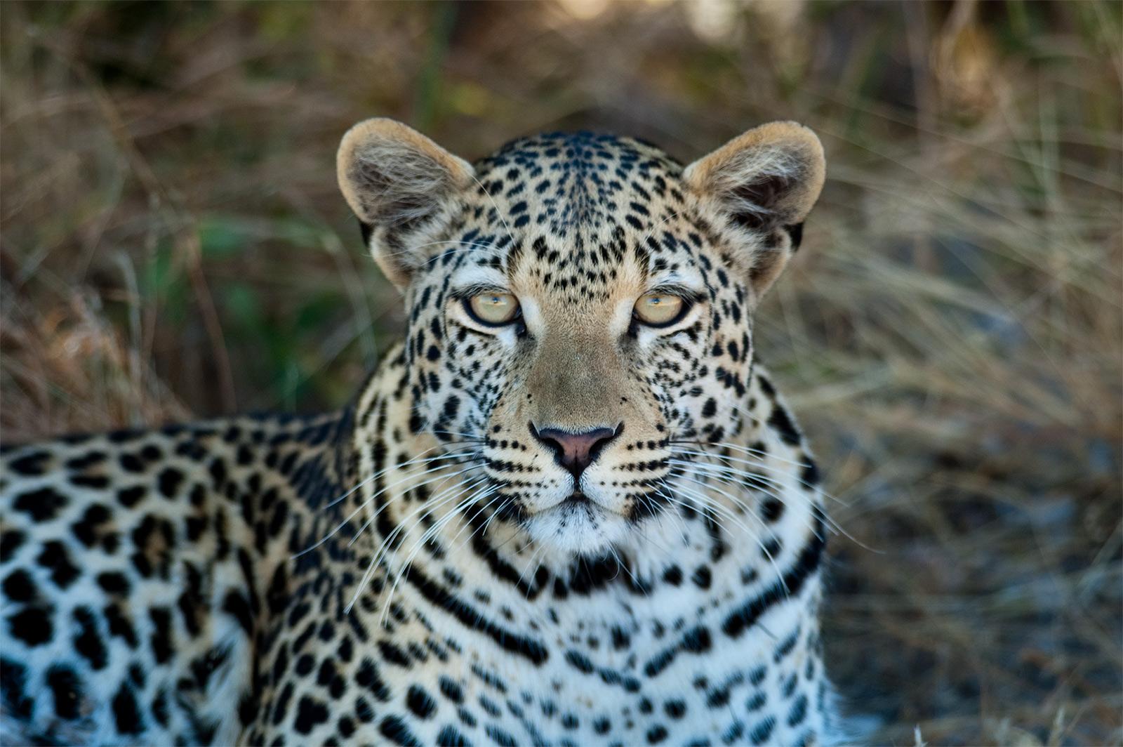 Leopard on the road to Namutoni Gate. Etosha, Namibia 2004.