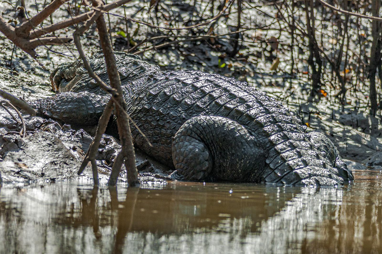 Fresh water crocodile in Cumbarjua Canal, Goa 2006.