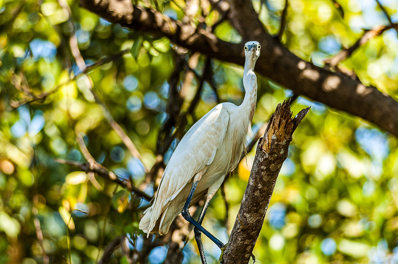 Intermediate Egret in Cumbarjua Canal,Goa,India